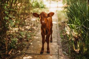 Chloe the calf